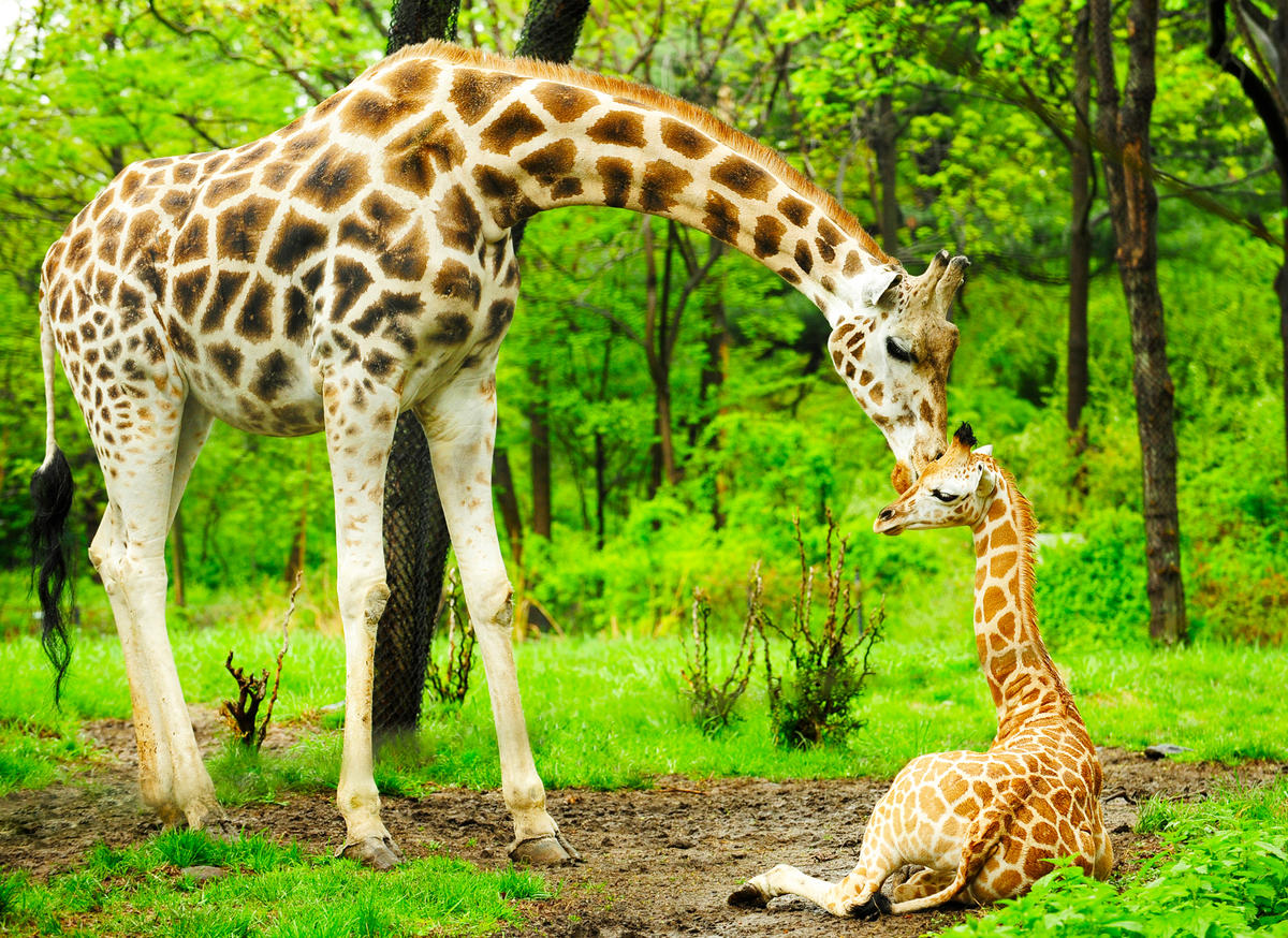 2zxzg09fp1 julie larsen maher 3317 reticulated giraffe and calf 05 05 09