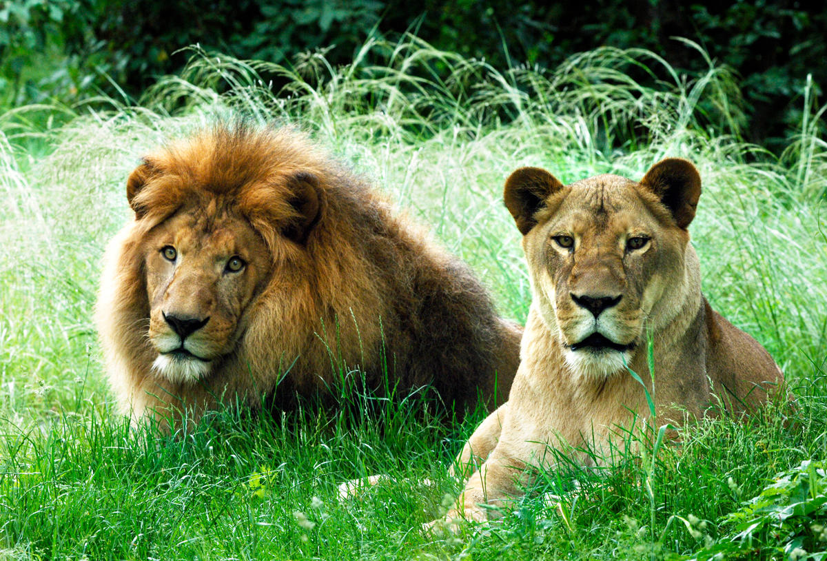 9o77ppxw5c julie larsen maher 3940 african lions george and gracie afp bz 06 08 06