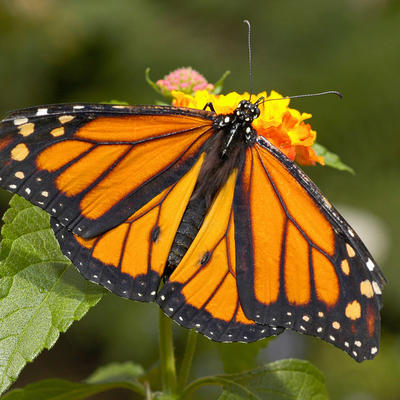 Superbe Featuring. Monarch Butterfly