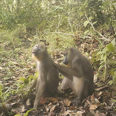 Camera Trap Mandrills