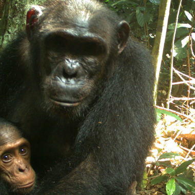 Chimps on camera trap