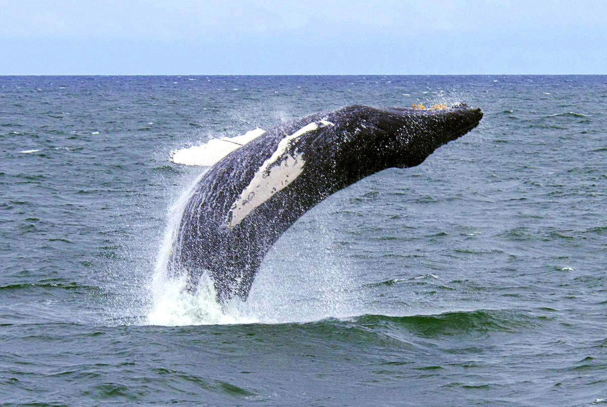 2y7uvlpak4 ricardo antunes 0111 humpback whales new york bight ny usa 09 12 15 hr hy