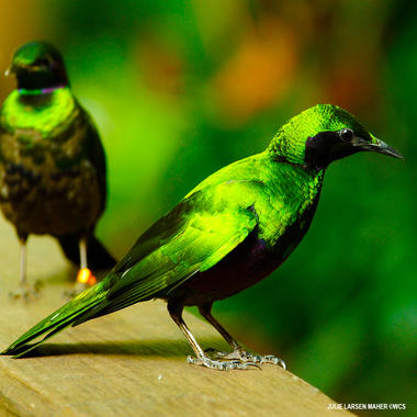emerald starling cpz
