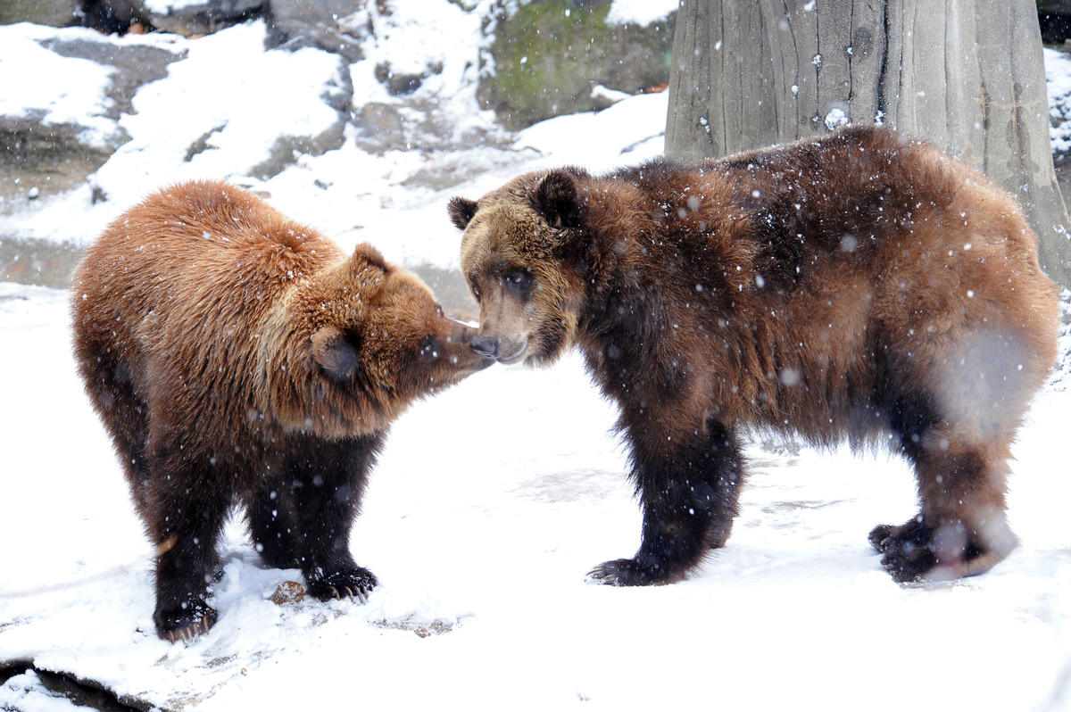 3kvhjql2er julie larsen maher 2711 brown bears in snow bb bz 01 07 11 hr
