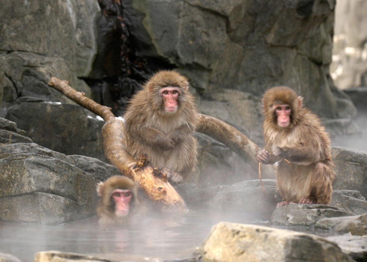 3prhjxd7cp julie larsen maher 0757 snow monkeys in hot tub tet cpz 01 20 05