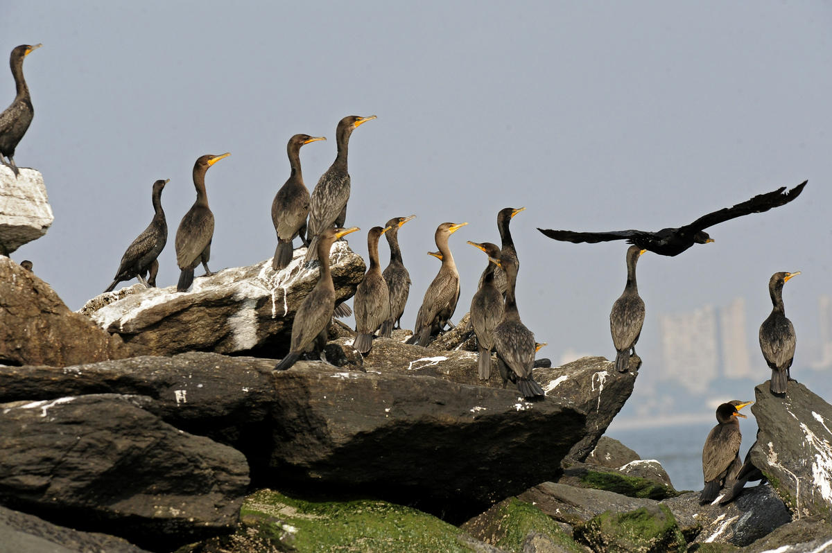 3xlk6iah0r julie larsen maher 7189 double crested cormorants ny harbor 08 11 10