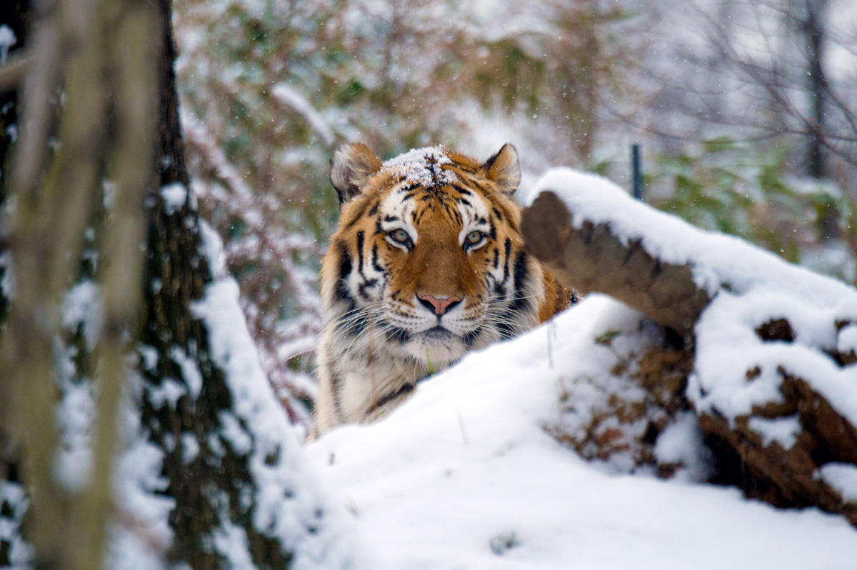 5bzt3xkzb8 julie larsen maher 4323 amur tiger in snow tm bz 01 06 15 hr