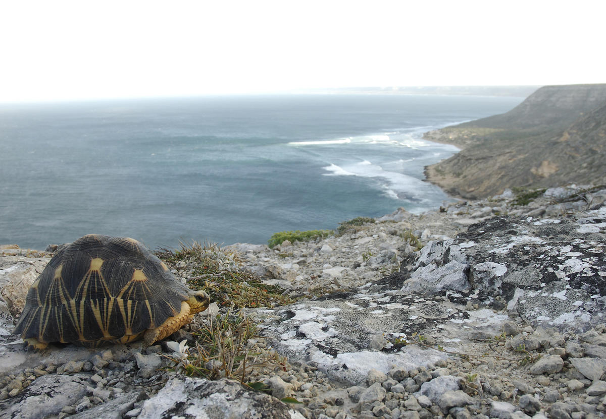 5wjsp1dnuw julie larsen maher 5039 radiated tortoise on cliff overlooking ocean mdg 06 24 05