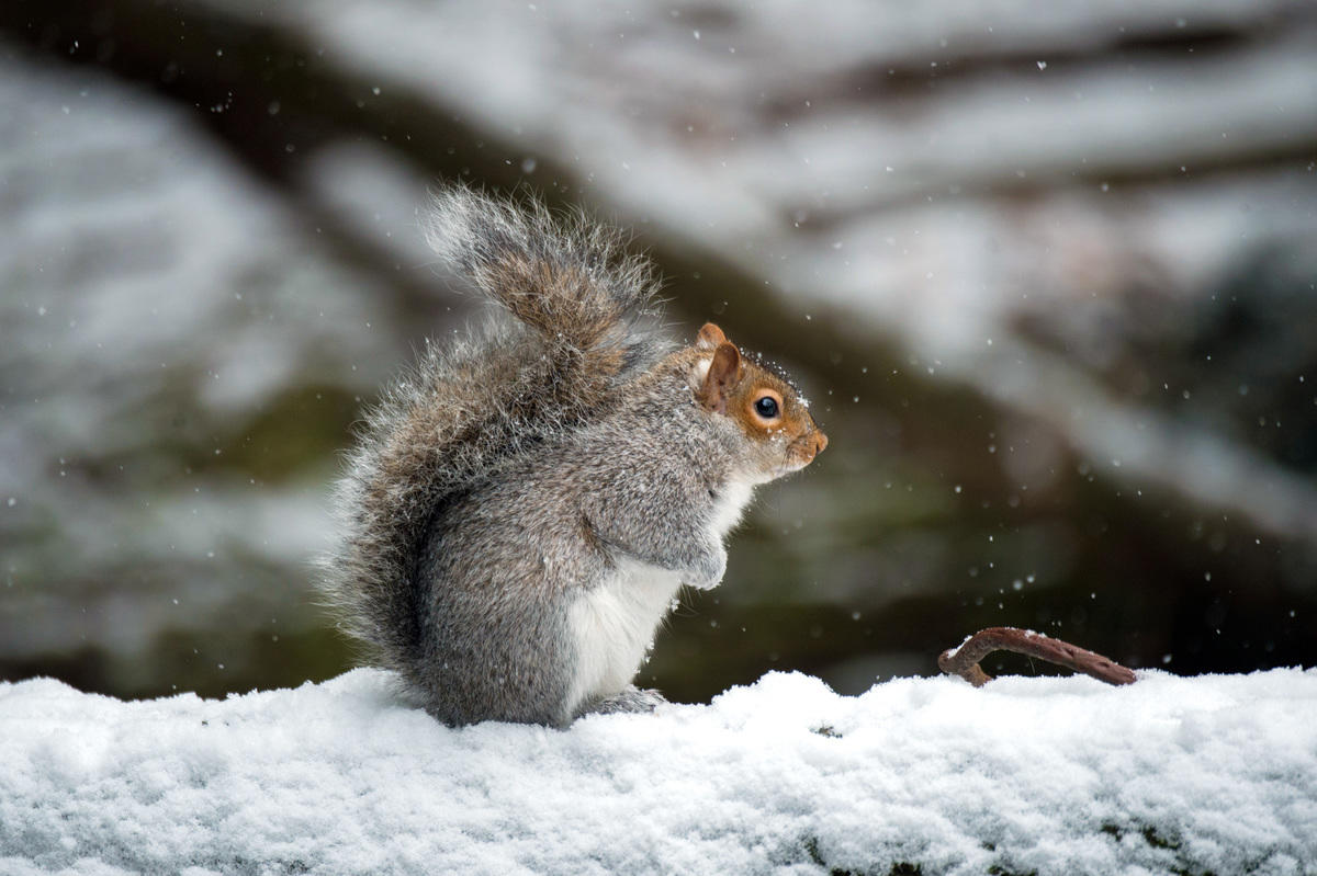 703br4le2l julie larsen maher 4270 gray squirrel in snow bz 01 06 15 hr
