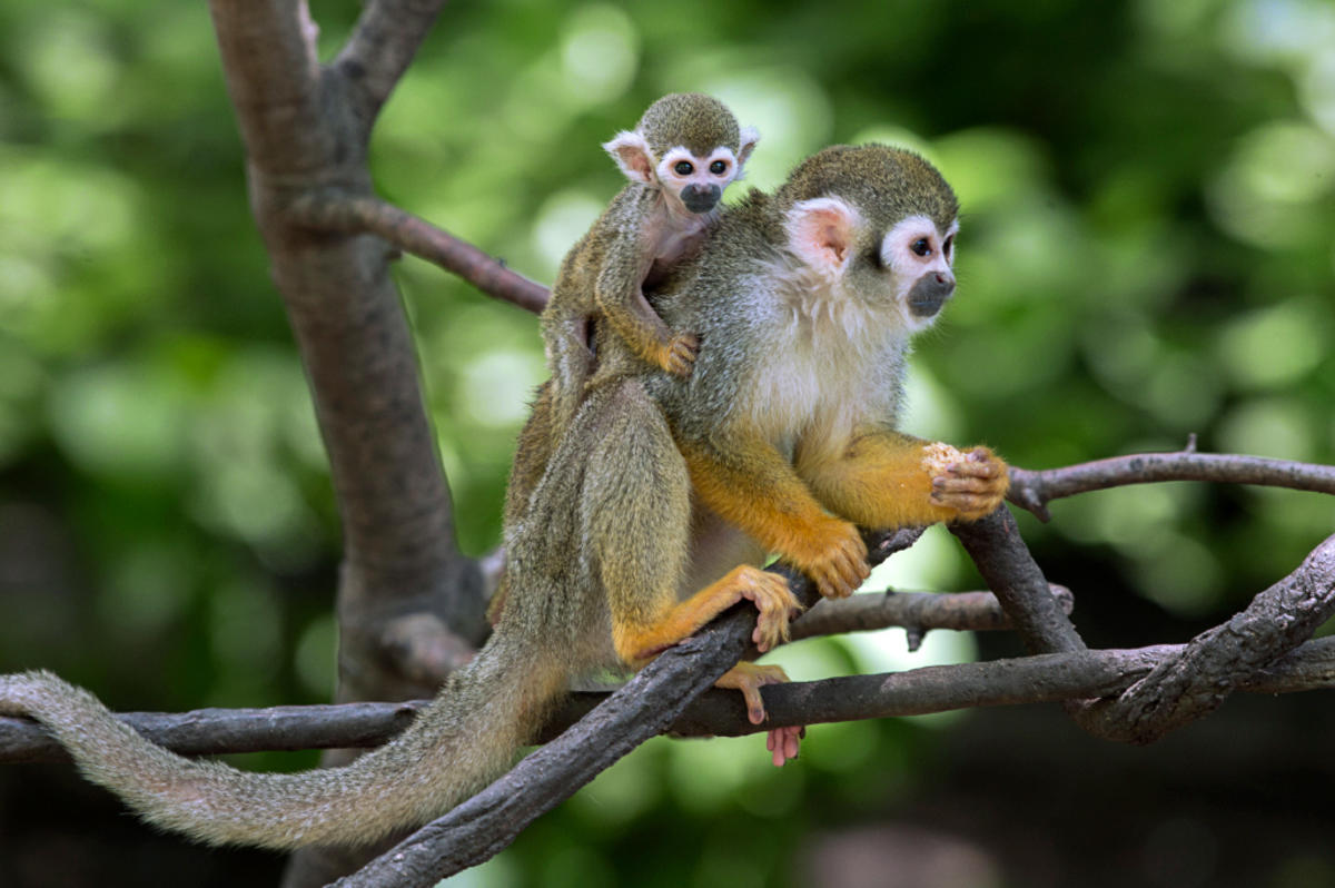 7iz0oa4qoa julie larsen maher 5992 squirrel monkey and baby cz bz 07 11 16 hy