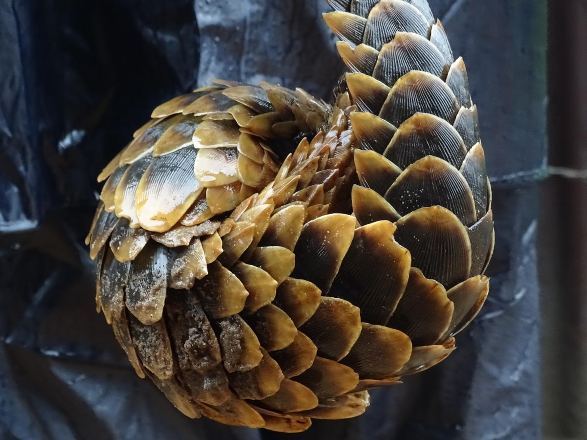 81kklrxwr3 lucie escouflaire 0072 pangolin caught by local farmer lefini reserve cog 03 00 15