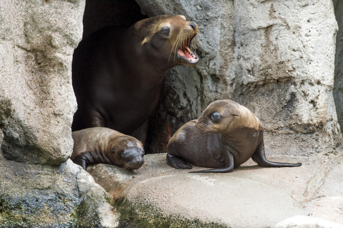 8hfckqm27l julie larsen maher 1011 california sea lion and pups slp bz 06 29 16 hy