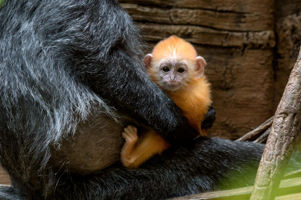95ll4z44ib julie larsen maher 9031 silvered leaf langur and baby jun bz 06 20 16 hy