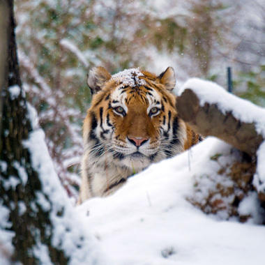 BZ Tiger in snow