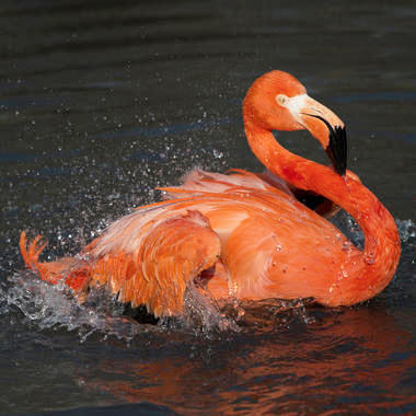 BZ Flamingo in water