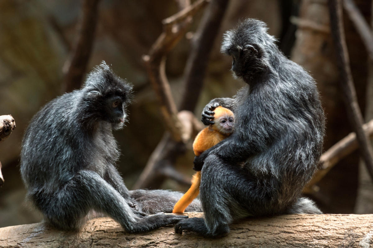 9bfzpeqff8 julie larsen maher 9016 silvered leaf langur and baby jun bz 06 20 16 hy