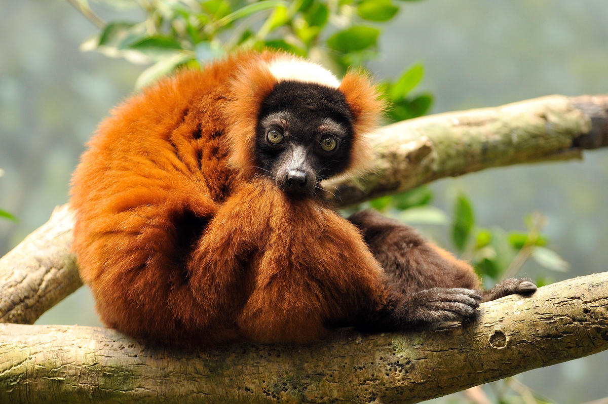 9h4s83dhcm julie larsen maher 2327 red ruffed lemur mad bz 06 20 08 hr