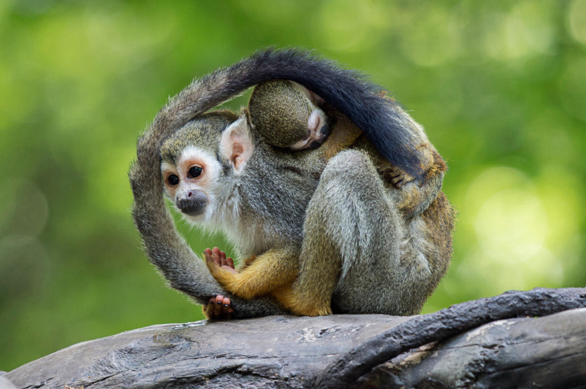 9itlvlm0v1 julie larsen maher 5948 squirrel monkey and baby cz bz 07 11 16 hy