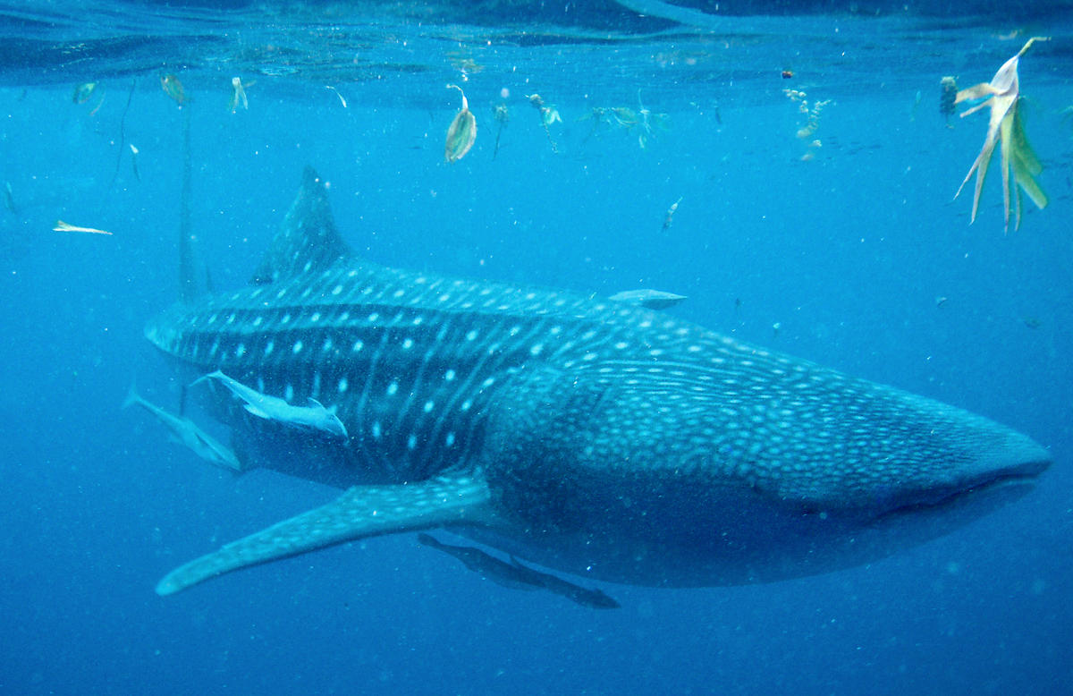 Be9ihtuce  julie larsen maher whale shark 080275 sharks copy