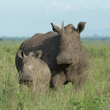 Southern White Rhino with baby