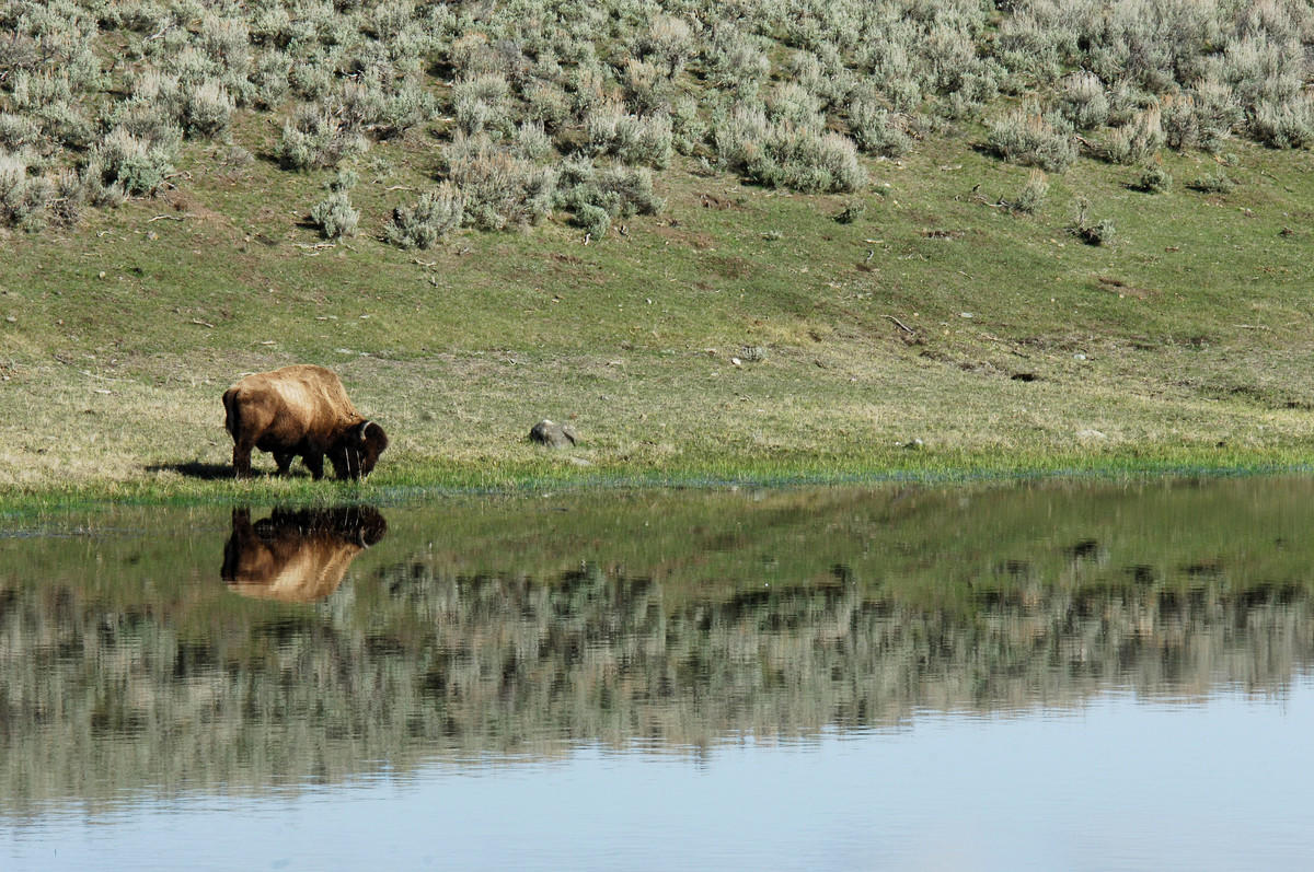 9j1b17kslw julie larsen maher 4375 american bison reflected on lake yell 05 03 06