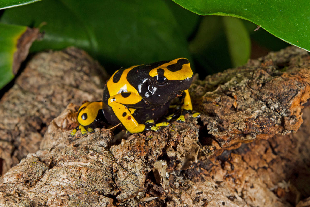 Ioeyyge5t julie larsen maher 6477 yellow banded dart frog wor bz 10 15 14 1