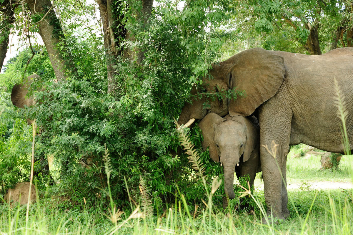 6chmtbrke1 julie larsen maher 2134 african elephant with baby in wild uga 06 29 10
