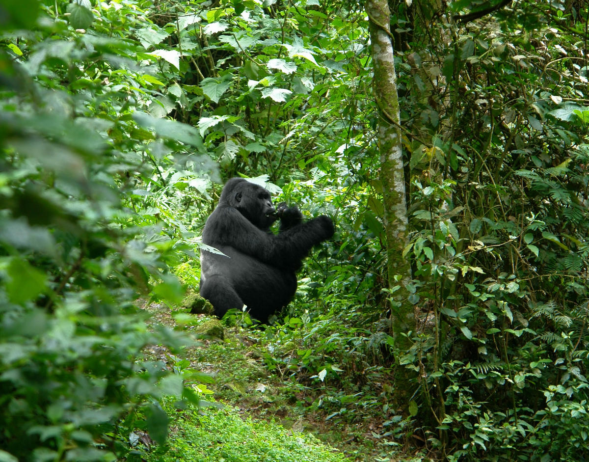 1mksfy032q mountain gorilla uganda