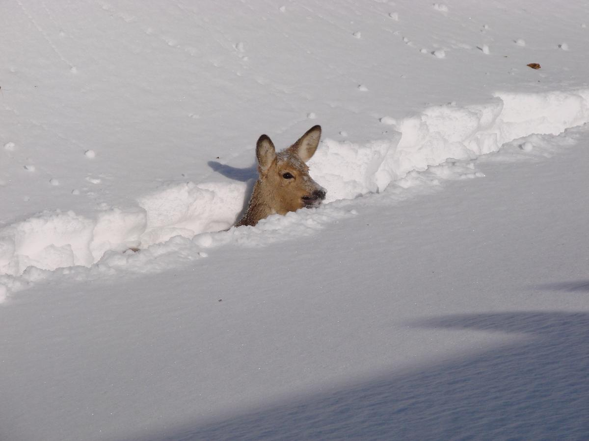 [Image: 660rs3l5yv_Roe_deer_in_snow.jpg]