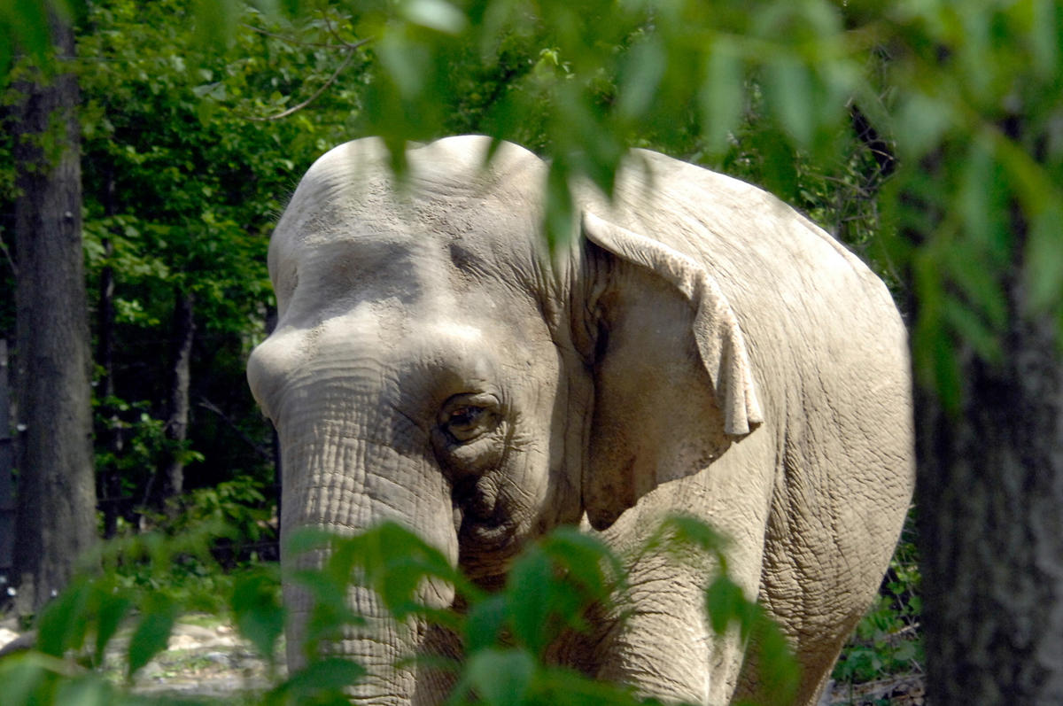 632116c8uw julie larsen maher 6379 asian elephant viewed from monorail was bz 05 15 07 hr