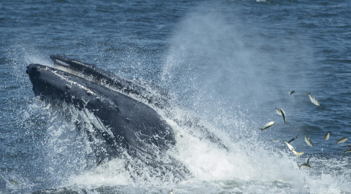 8i4gkltl4v 7x6b1o454h cropped julie larsen maher 4256 humpback whales in the new york bight 08 27 14