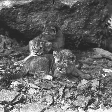 Barbary lion cubs