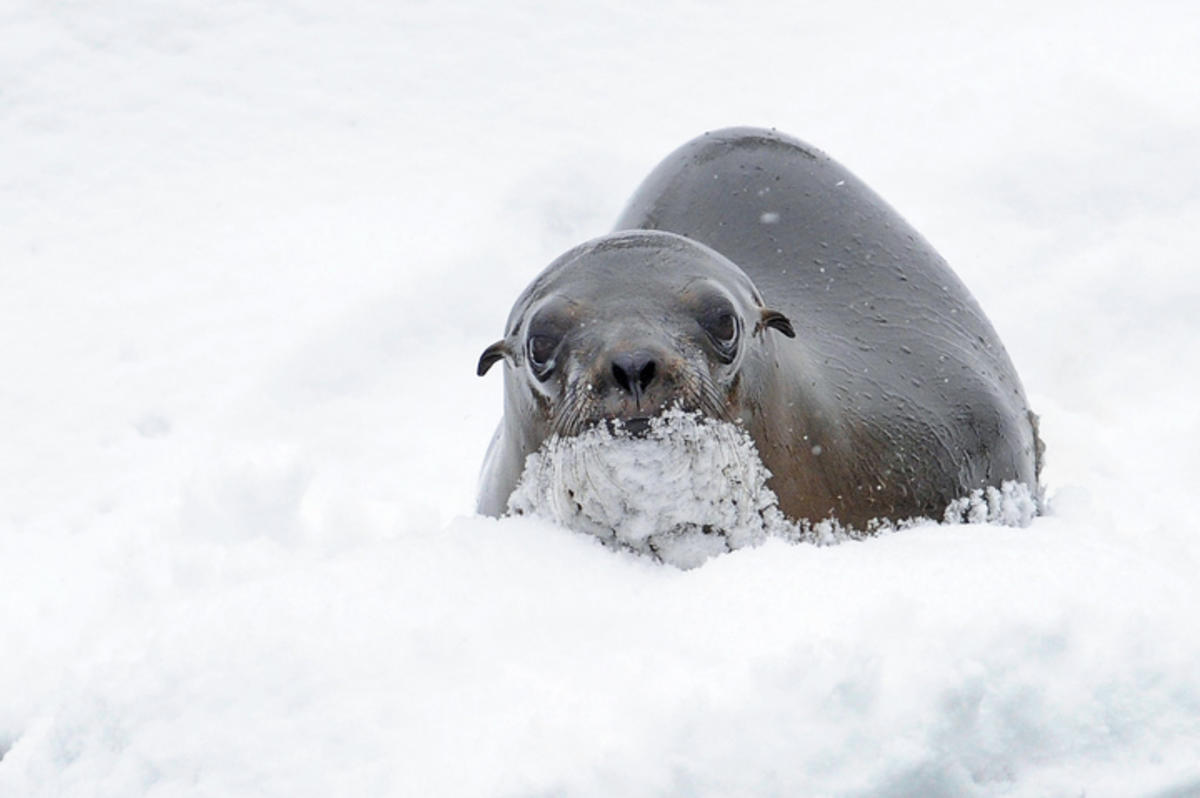 58upf9bkmw julie larsen maher 4792 california sea lion in snow slp bz 01 26 11 720
