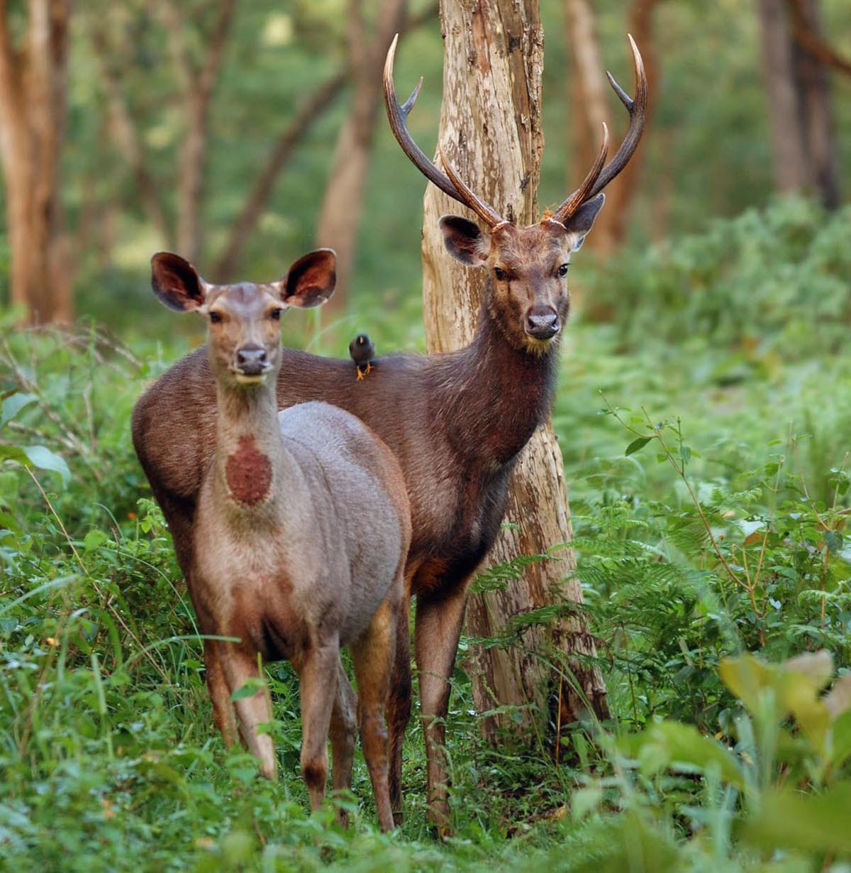 Tv9s6acmj photos wild sambar deer male and female photo by kalyan varma