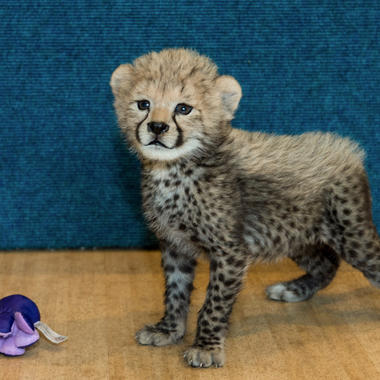 Cheetah cub with octopus