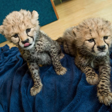 BZ Cheetah cub duo