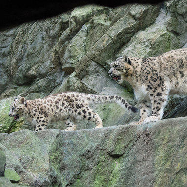 Snow leopard leo cub and adult