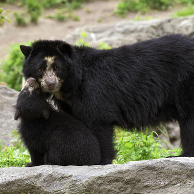 QZ Andean bear cub and mom