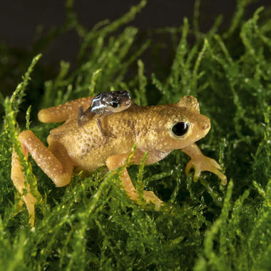 BZ Kihansi spray toad and toadlet