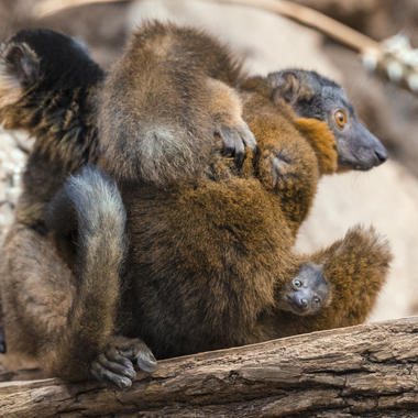 Collared lemur and baby