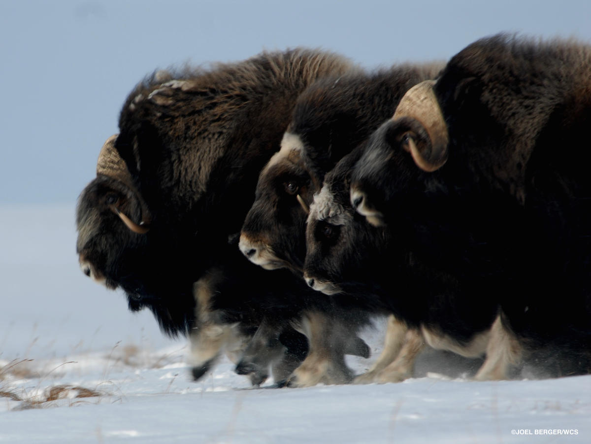 2v4xknyjbu muskoxen on the move 1