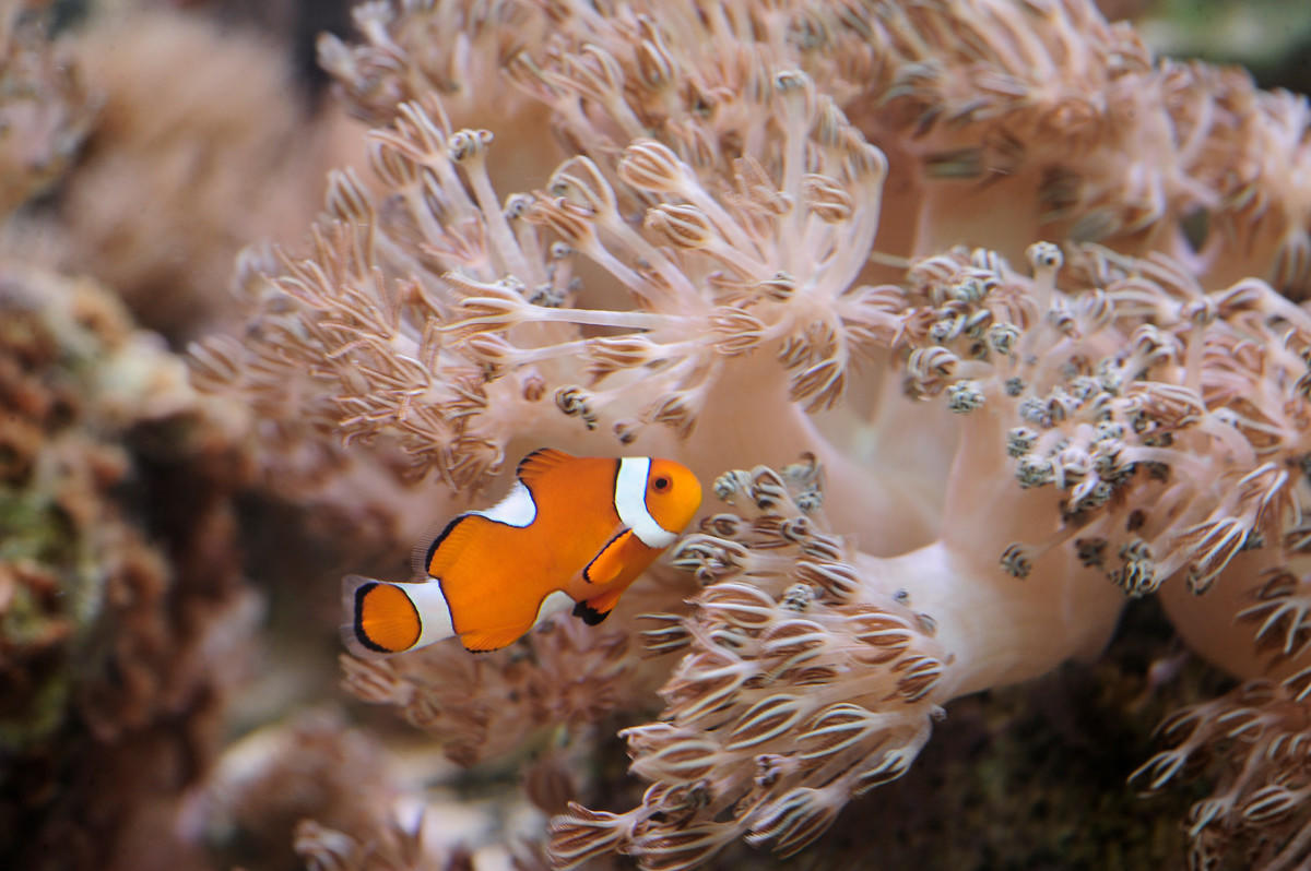 6rdiby2m25 julie larsen maher 9406 xenia coral and orange clownfish ch aq 03 30 11 hr