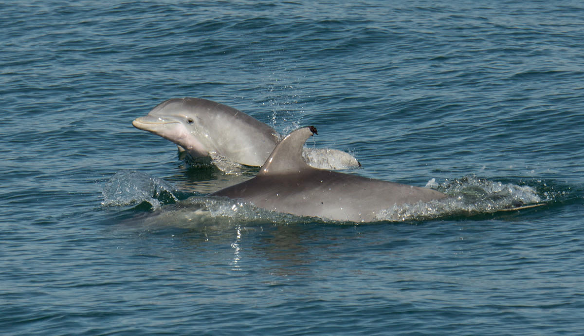 22j2nv9yly julie larsen maher 1940 bottlenose dolphins in the new york waters ny usa 10 31 15