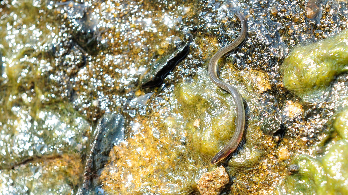 5p1p2d4657 julie larsen maher 8760 american eel glass eel mianus river connecticut usa 06 15 11 1