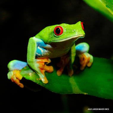 Red eyed tree frog ppz