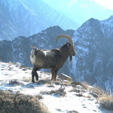 Ibex in Afghanistan on camera trap