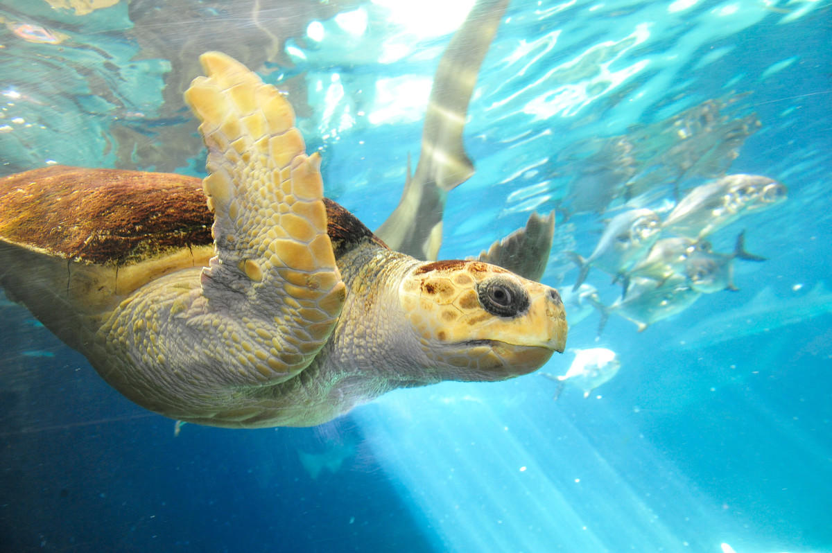 7eeo0gibjy julie larsen maher 3976 loggerhead sea turtle under water sha aq 07 09 10 hr