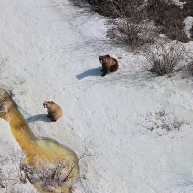 Brown bears from Beringia aerial survey 2