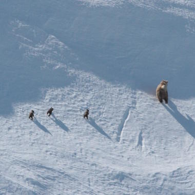 Brown bears from Beringia aerial survey 6