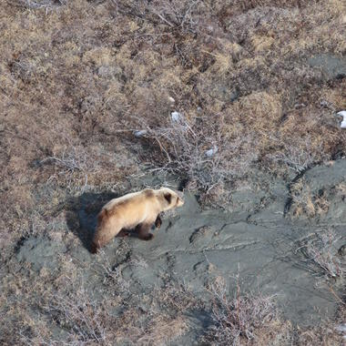 Brown bears from Beringia aerial survey 5